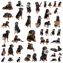 rottweiler toutes positions