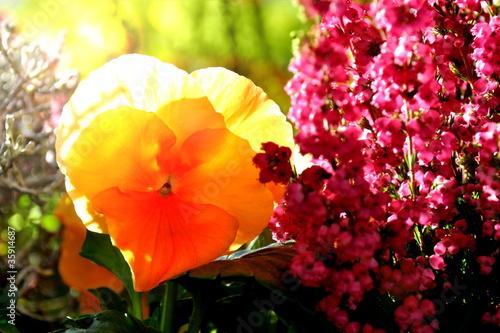 Foto op Canvas Pansies Blüte im Gegenlicht