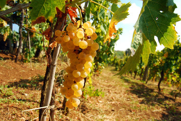 Organic vineyard in autumn