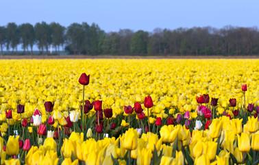 Flowers in a field, Holland