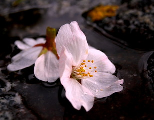 美しくも儚い桜の終局