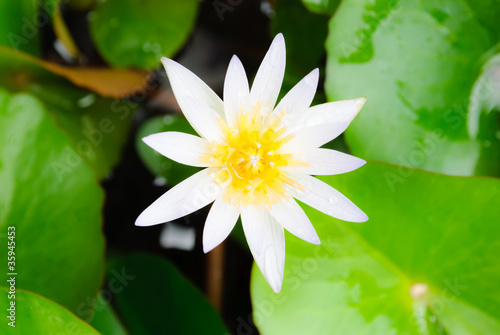 Closeup white lotus flower