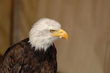 aigle, Pygargue à tête blanche