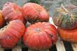 Rote Kürbisse bei der Ernte