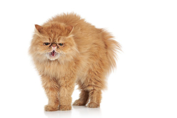 Angry Persian cat on a white background