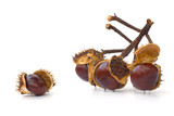 Branch with chestnuts
