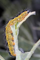Oruga de la mariposa de la col