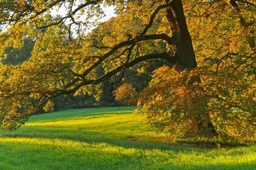 Baumbestand, alte Eiche, Herbst
