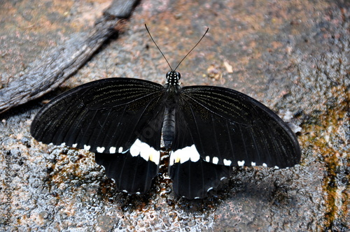 Male Common Mormon Butterfly,aka,Papilio polytes