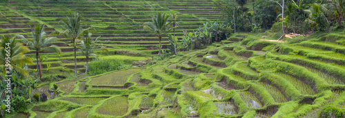 Rice fields. Bali
