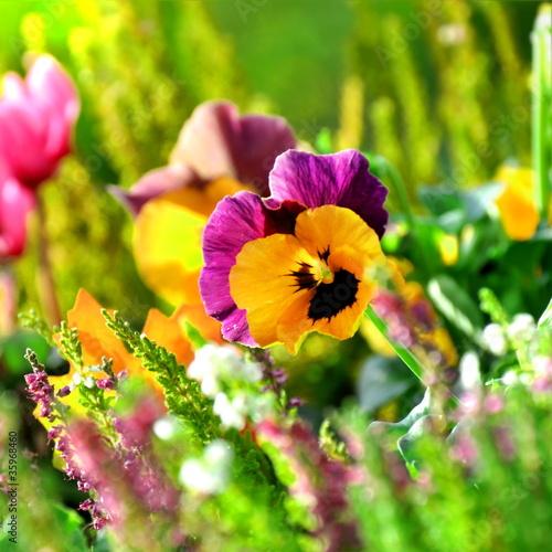 In de dag Pansies Balkonblumen