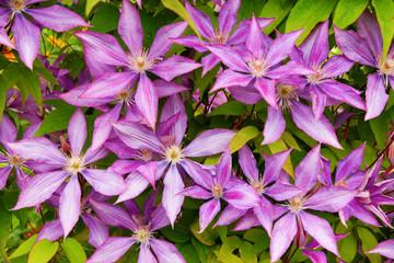 purple clematis flower heads