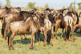 The Great Wildebeest Migration poster
