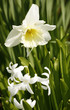 daffodil flower in leavy green back