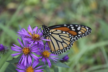 Monarch on Purple Asters