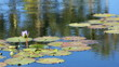 slow motion pan across lily pads in pond with lotus flowers