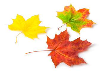 Three colorful maple autumnal leaves