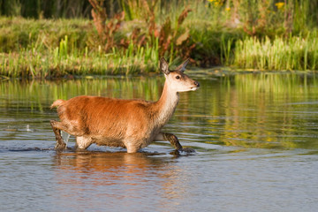Red deer (cervus elaphus) hind wading across wetland, Lancashire