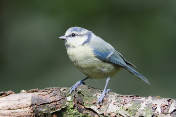 Blue tit (cyanistes caeruleus) perched on log