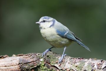 Blue tit (cyanistes caeruleus) perched on log