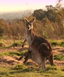 Kangaroo with joey at sunset