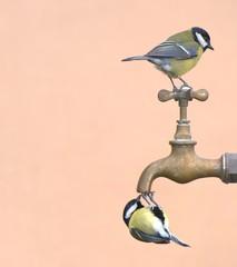 Pájaros posados en un grifo bebiendo agua.