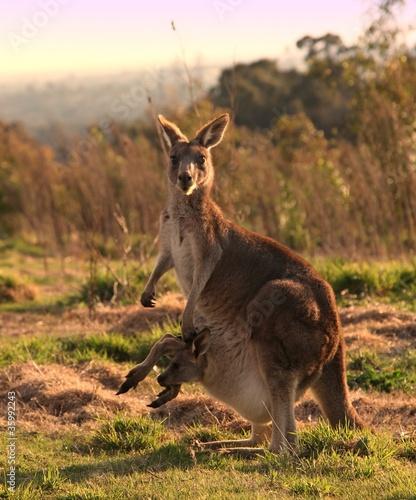 Fotobehang Kangoeroe Kangaroo with joey at sunset