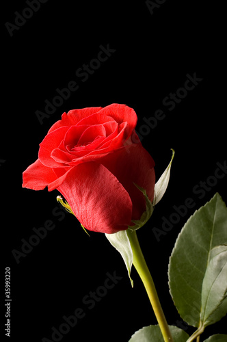 The beautiful red rose on black