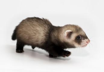 puppy ferret