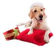 labrador avec bonnet rouge et cadeau de noël