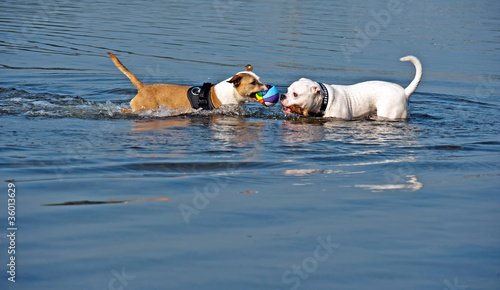 Playing dogs in a lake, Holland