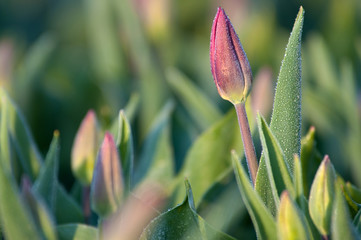 Tulips at dawn. Holland