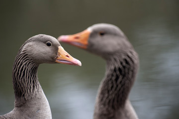 Two geese having a meetting