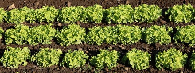 rangs de culture de salades vertes