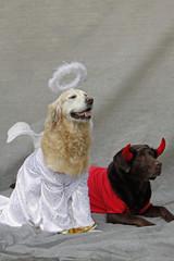 Als Engel und Teufel verkleidete Labrador Retriever
