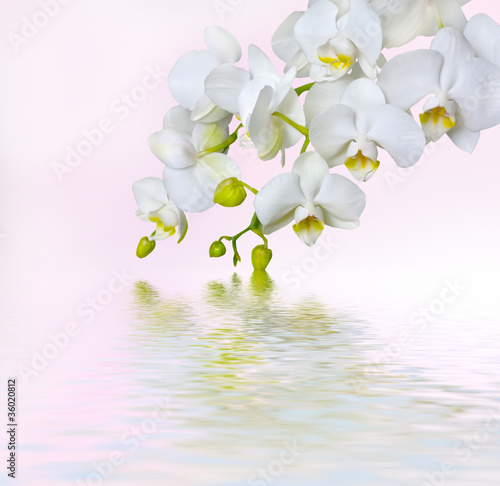 Fototapety, obrazy : Beautiful white orchid