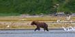 Küstenbraunbär wildlife Katmai/Alaska