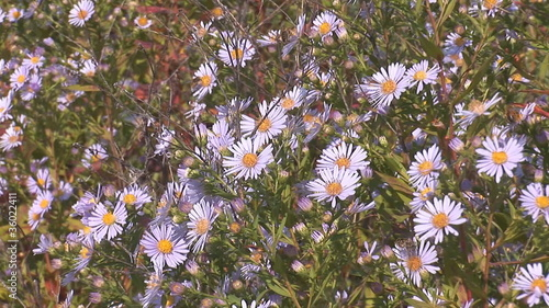 Bees pollinate the daisies