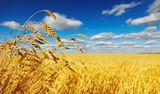 Fototapety Wheat field