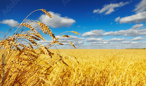 Leinwandbild Motiv Wheat field