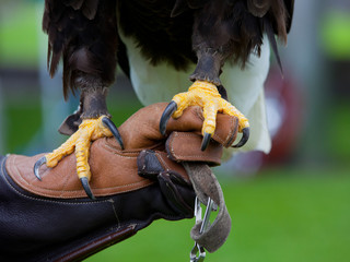 Claws of Bald Headed Eagle