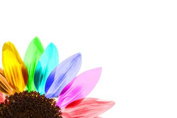 Tournesol multicolore, fond blanc