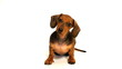 HD - Curious puppy dachshund