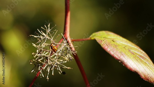 Orange Ladybug Moving on Branch
