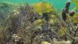 Grunt fish in sea rod coral