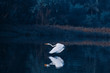 Egrets play in the water