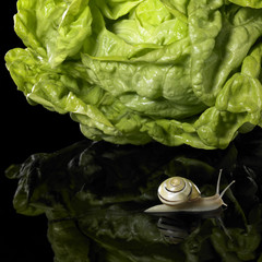 yellow Grove snail and salad