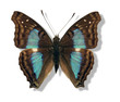 iridescent butterfly