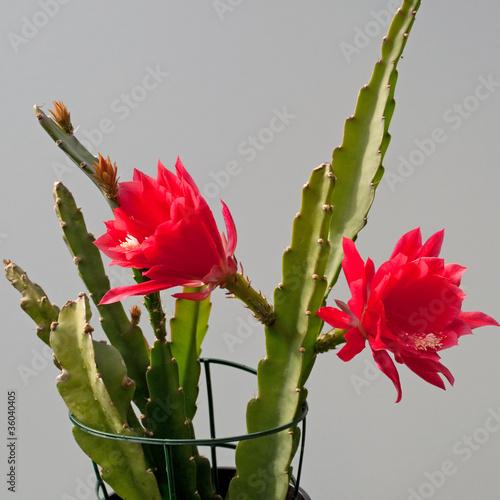 Canvas Cactus Disocactus speciosus