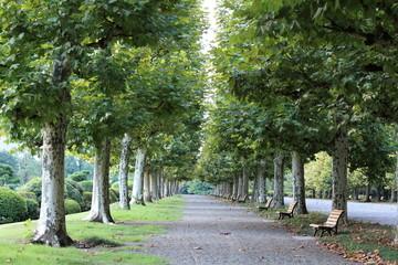 プラタナスの並木 (新宿御苑)
